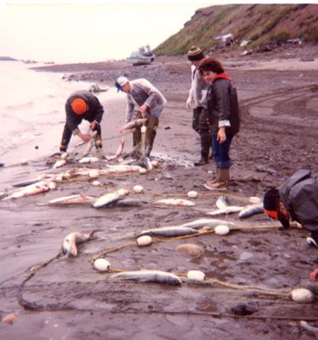 A bountiful catch of Sockeye salmon